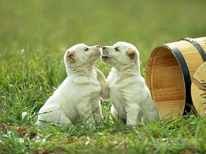 Щенки самоедской лайки, фото фотография картинка обои