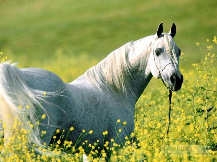 Арабская лошадь в поле, фотообои, фото обои, фотография картинка