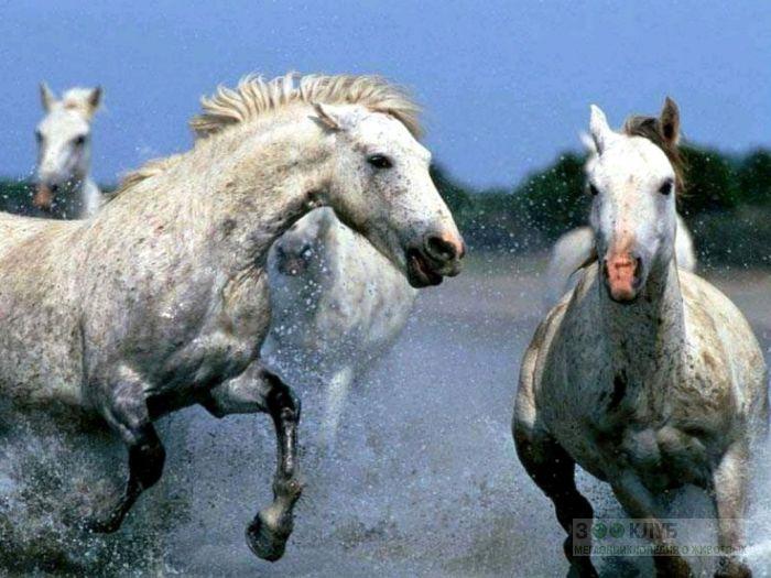 Лошади в яблоках бегут по воде, фотообои, фото обои, фотография картинка