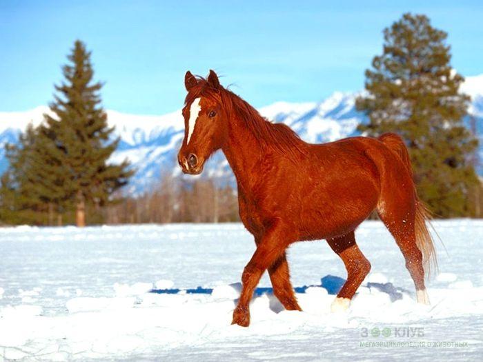 Лошадь бредущая по снеги, фотообои, фото обои, фотография картинка