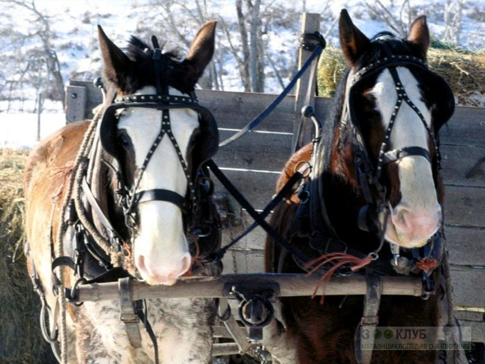 Лошади запряженные в повозку фотообои, фото обои, фотография картинка