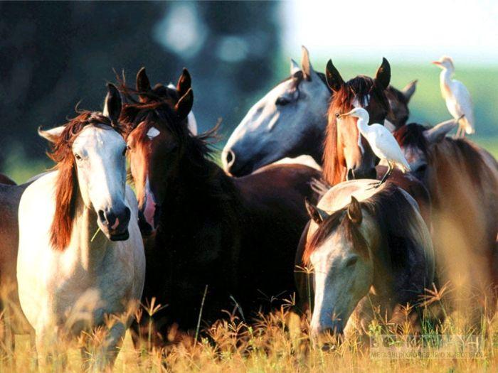 Лошади и цапли, фотообои, фото обои, фотография картинка