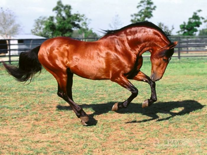Гарцующая лошадь, фотообои, фото обои, фотография картинка