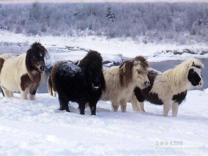 Шетландские пони фотообои, фото обои, фотография картинка