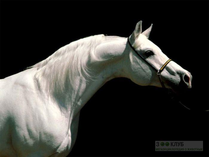 Арабская белая лошадь, фотообои, фото обои, фотография картинка