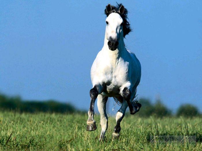 Бегущая навстречу белая лошадь, фотообои, фото обои, фотография картинка