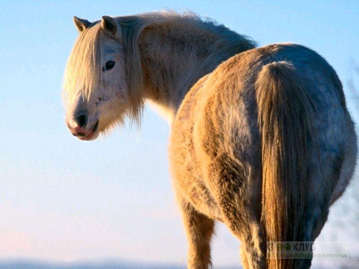 Якутская лошадь, фотообои, фото обои, фотография картинка
