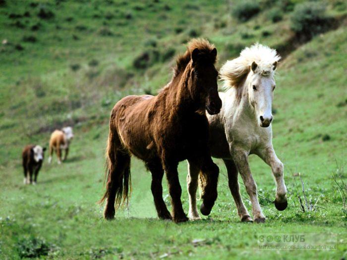 Скачущие лошади фотообои, фото обои, фотография картинка