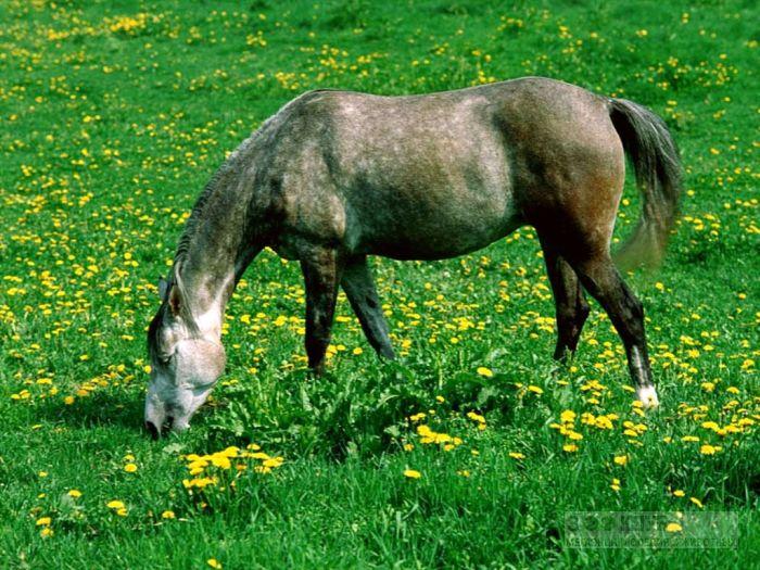 Лошадь серая в яблоках, фотообои, фото обои, фотография картинка