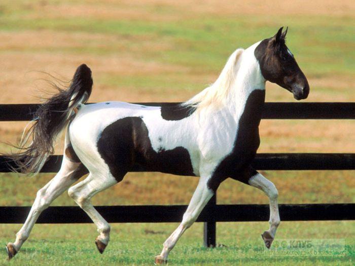 Черно-белая лошадь, фотообои, фото обои, фотография картинка