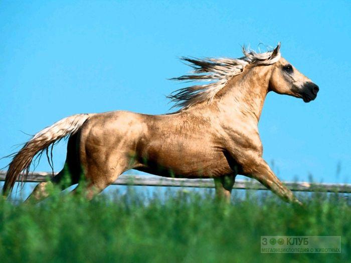 Изабелловая лошадь, фотообои, фото обои, фотография картинка