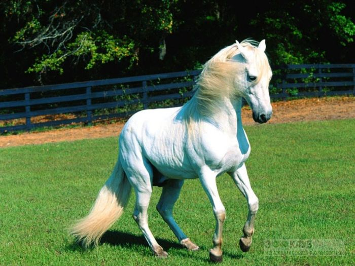 Белая лошадь, фотообои, фото обои, фотография картинка