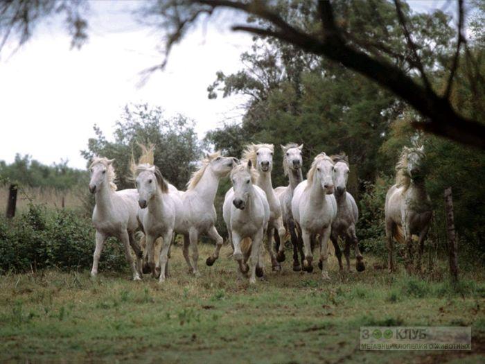 Табун белых лошадей фотообои фото