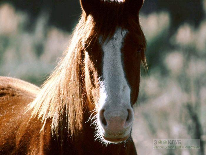 Морда лошади, фотообои, фото обои, фотография картинка