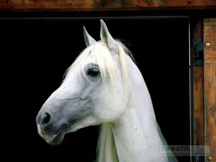Голова белой лошади, фотообои, фото обои, фотография картинка