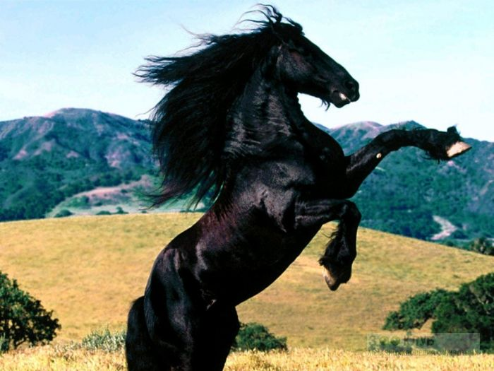 Черная лошадь фото обои картинка