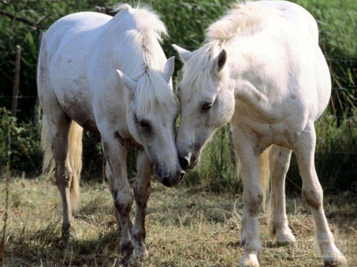 Две белые лошади, фотообои, фото обои, фотография картинка