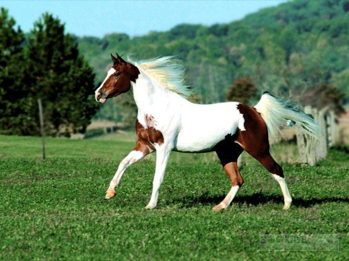Бело-коричневая лошадь, фотообои, фото обои, фотография картинка