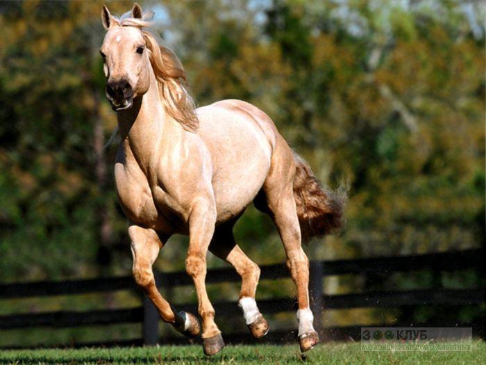 Кремовая лошадь, фотообои, фото обои, фотография картинка