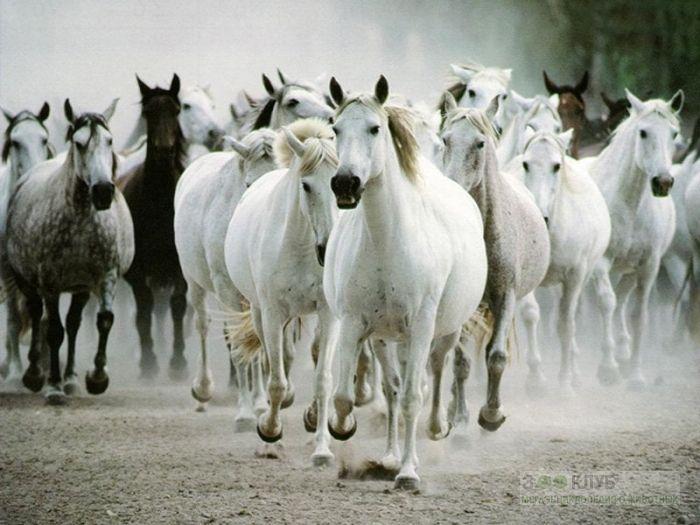 Бегущий табун лошадей, фотообои, фото обои, фотография картинка