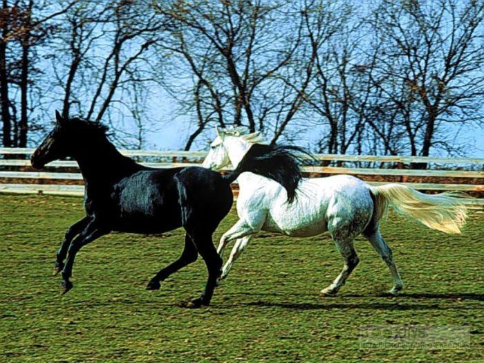 Белая и черная лошади, фотообои, фото обои, фотография картинка