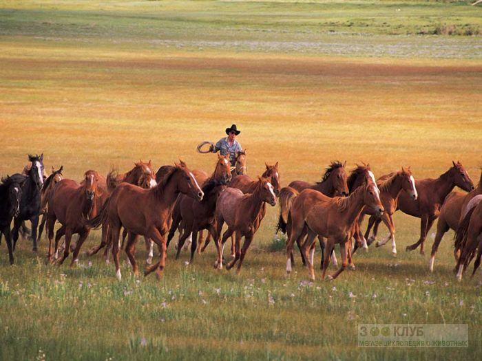 Табун лошадей и ковбой, фотообои, фото обои, фотография картинка