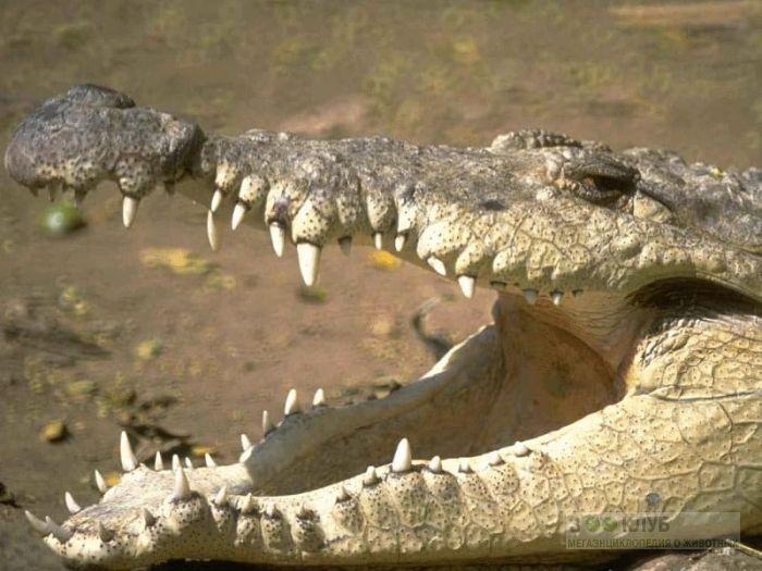 Крокодил с открытой пастью, фотообои, фото обои, фотография