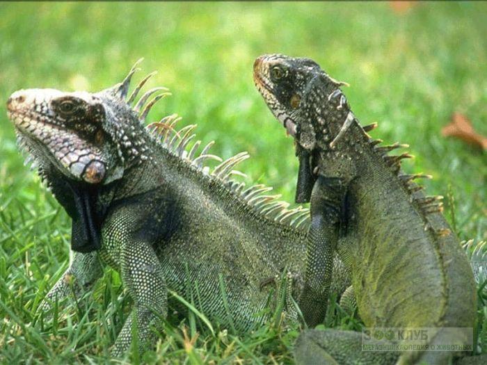 Зеленые игуаны (Iguana iguana), фото фотография картинка обои