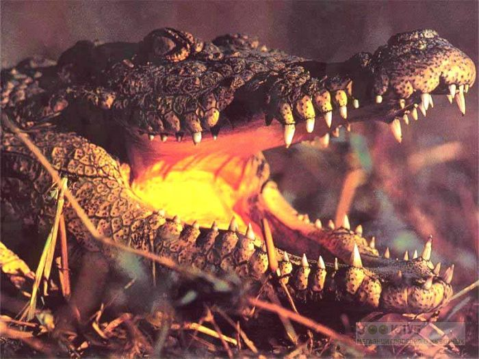 Голова крокодила фото, фото фотография картинка обои