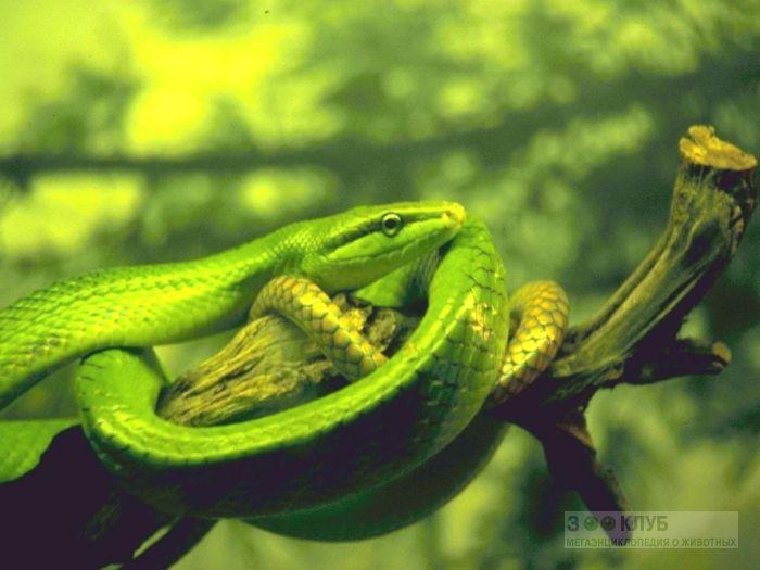 Зелёный полоз, или смарагдовый полоз (Gonyosoma oxycephalum), фото фотография картинка обои