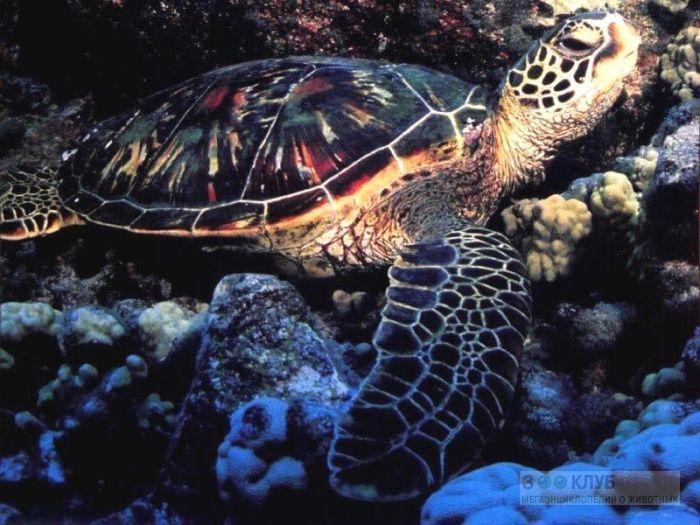 Зелёная черепаха, суповая черепаха (Chelonia mydas) фотообои, фото обои, фотография