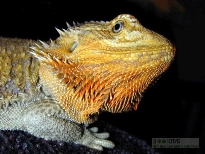 Бородатая агама (Pogona vitticeps) фото, фото фотография картинка обои