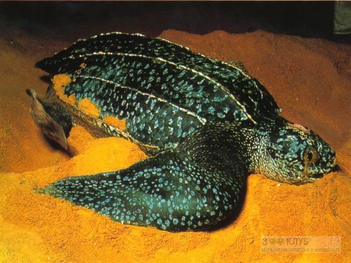 Кожистая черепаха (Dermochelys coriacea) фотообои, фото обои, фотография