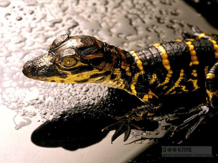 Детеныш аллигатора (Alligator mississippiensis), фото фотография картинка обои