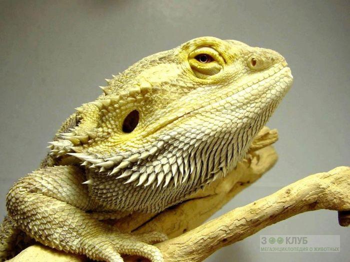 Бородатая агама (Pogona vitticeps) фотообои, фото обои, фотография