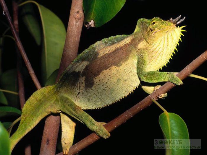 Четырехрогий хамелеон (Chamaeleo quadricornis), фото фотография картинка обои