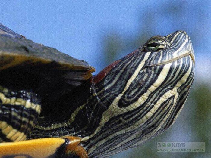 Красноухая черепаха (Trachemys scripta), фото фотография картинка обои
