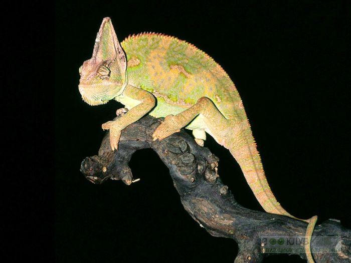 Йеменский хамелеон (Chamaeleo calyptratus) фотообои, фото обои, фотография