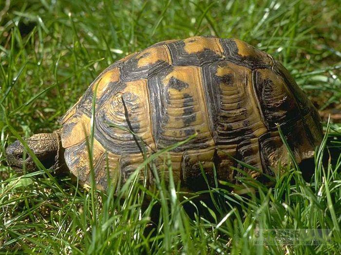 Средиземноморская черепаха (Testudo graeca) фотообои, фото обои, фотография