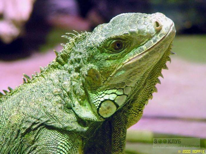 Зеленая игуана фото, фото фотография картинка обои