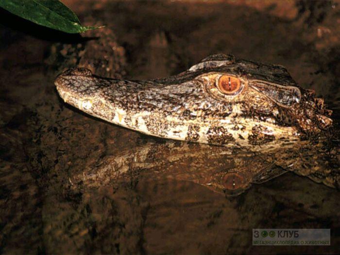 Черный кайман (Melanosuchus niger), фото фотография картинка обои