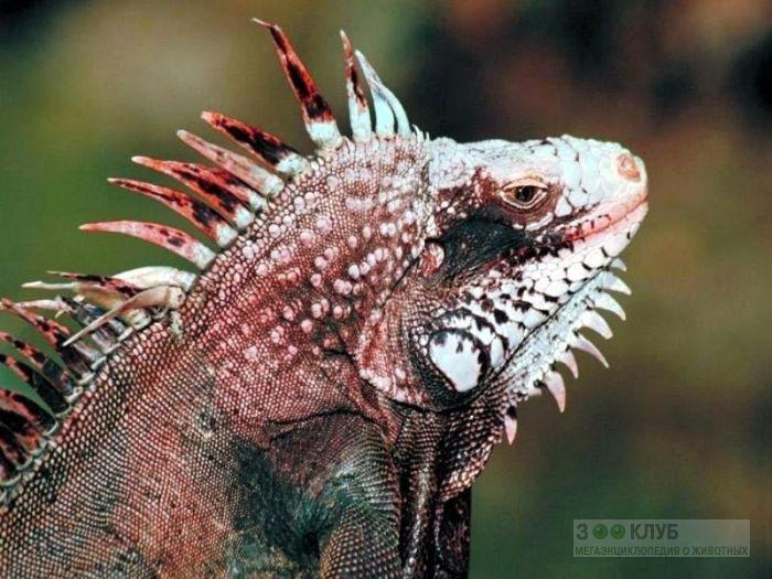 Зеленая игуана (Iguana iguana), фото фотография картинка обои