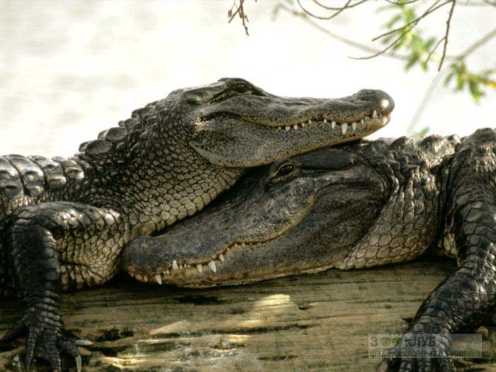 Нильские крокодилы (Crocodylus niloticus), фото фотография картинка обои
