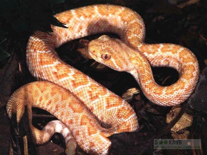 Техасский гремучник (Crotalus atrox) альбинос, фото фотография картинка обои