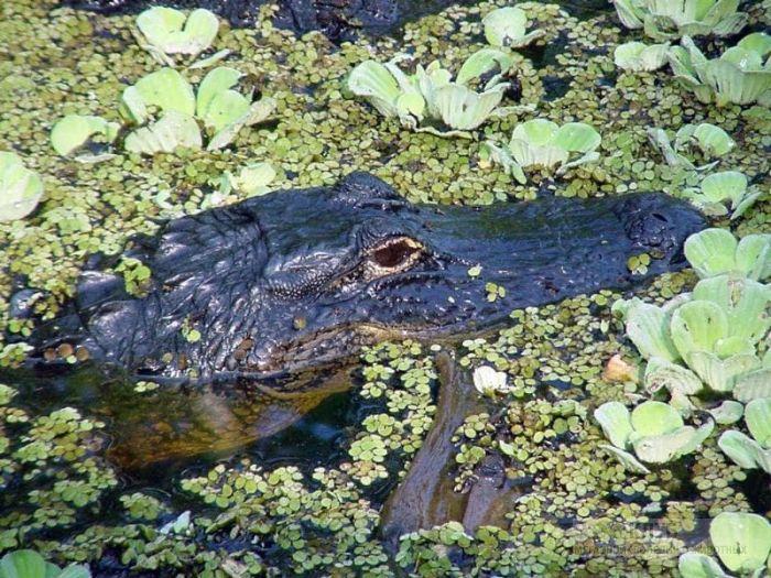 Миссисипский аллигатор (Alligator mississippiensis), фотообои, фото обои, фотография