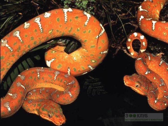 Садовый удав (Corallus hortulanus) фотообои, фото обои, фотография