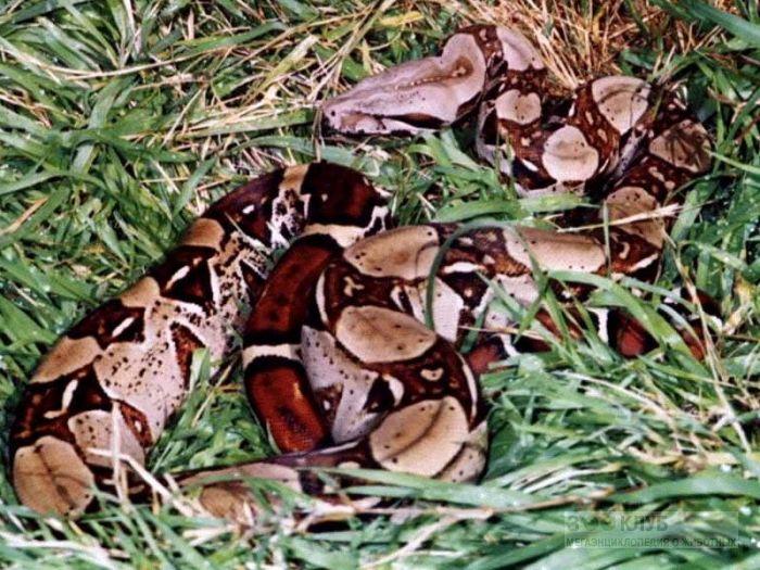 Обыкновенный удав (Boa constrictor) фотообои, фото обои, фотография