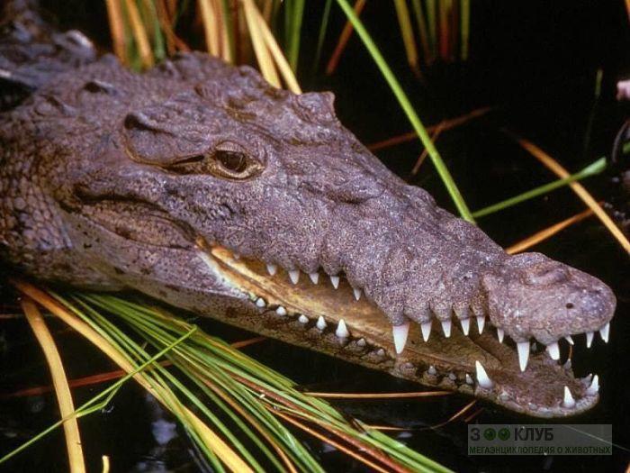 Нильский крокодил (Crocodylus niloticus), фото фотография картинка обои