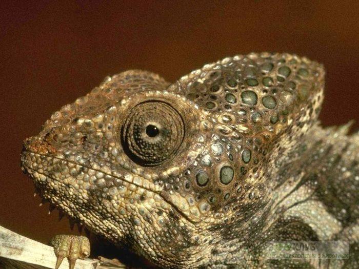 Шлемоносный, или йеменский хамелеон (Chamaeleo hoehnelii), фото фотография картинка обои