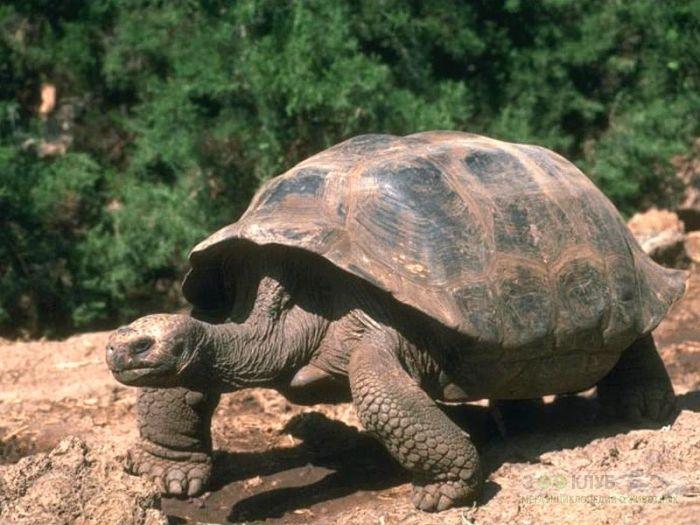 Слоновая, или галапагосская черепаха (Chelonoidis elephantopus) фото, фото фотография картинка обои